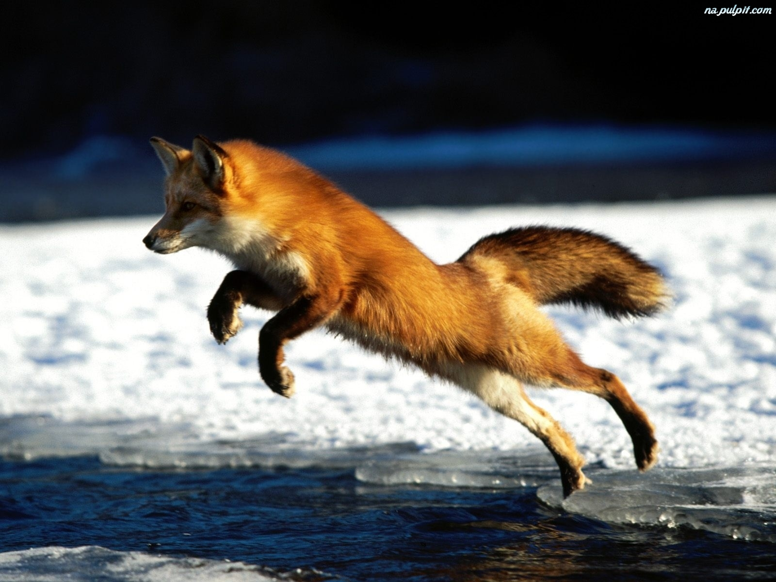 funny wallpaper red fox - photo #10